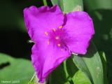 Éphémère - Spiderwort