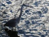 Grand Héron - 2013 - Great blue Heron