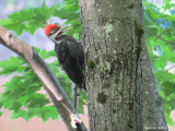 Grand Pic (juvenile) Pileated Woodpecker