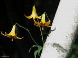 Lys du Canada - Canada lily