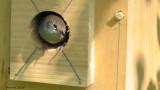 Troglodyte familier - House Wren