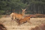 Edelhert - Red Deer