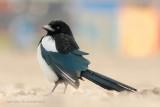 Ekster - Eurasian Magpie