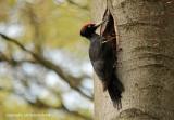 Zwarte specht - Black Woodpecker