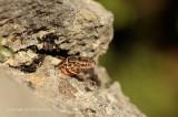 Muurhagedis - Wall Lizard