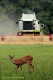 Ree met maaidorser - Roe Deer