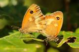 Oranje zandoogje - Gatekeeper