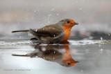 Roodborst - Robin