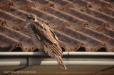 Sperwer - Sparrowhawk