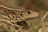 Zandhagedis - Sand Lizard