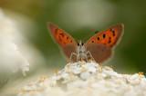 Small Copper - Kleine vuurvlinder
