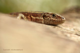Levendbarende hagedis - Viviparous Lizard