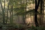 Beechforest - Beukenbos