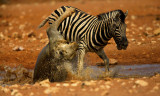 The Struggle For Life (Lion and Zebra)
