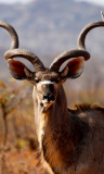 Magnificent, Greater Kudu (m)