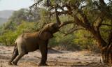 Modifying the environment (Desert elephant, Namibia)