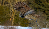 Forest Ghost, Great Gray Owl