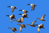 Winter Flock, Northern Shovellor