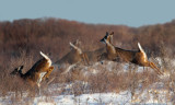 White-tailed deer leaping sequence