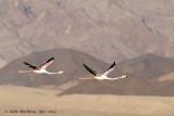 Greater Flamingo 2014