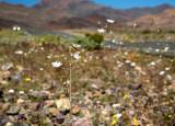 Gravel Ghost wildflowers by road