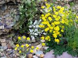 Yellow daisies and white heliotrope