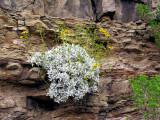 Brittlebush and Paper Daisies Johnson Canyon