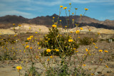 spindly paper daisy bush and hills towards Beatty