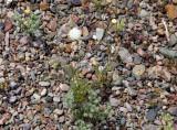 Fremont Pincushion rocks