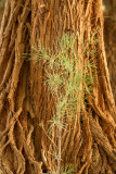 Salt Cedar green shoot