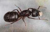 Camponotus-herculeanus_Queen.jpg