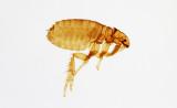 Ctenocephalides-canis.jpg