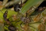 Cinara-pinea_with_ants.jpg