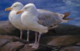 Gulls, Monhegan 19 x 29