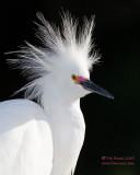 1DX49727 - Snowy Egret portrait