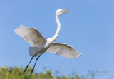1DX50155 - Great Egret