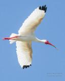 1DX50174 - White Ibis