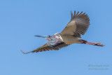 1DX50680 - Tricolor Heron in flight