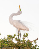 1DX51225 - Great Egret - displaying in evening light