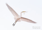 1DX51189 - Great Egret in flight