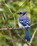 1DX52170 - Blue Jay