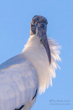 1DX51186 - Wood Stork backlit portrait