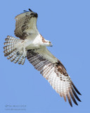 1DX51596 - Osprey in flight