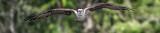 1DX51997osprey_banner.jpg