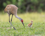 1DX52862  - Sandhill Crane with Chick