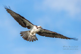 1DX51720 - Osprey in flight