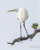 1DX53717 - Great Egret