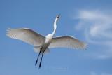 1DX77302 - Great Egret
