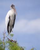 1DX77340 - Wood Stork