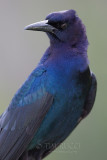 1DX77827 - Boat Tailed Grackle